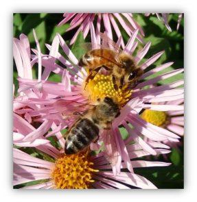 Honey Bees on NE Aster