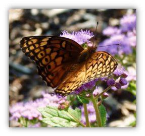 Meadow Frittilary Butterfly on Mist Flower