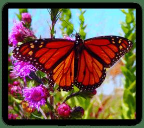 Monarch on Button Blazing Star